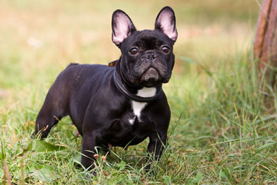 Adult Black French Bulldog