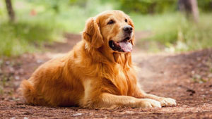 Amazing Golden Retriever Sitting On Road And Laughing