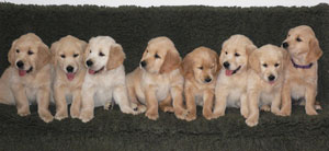 Melrose Flair Golden Retriever 1vdviytDqEmD6nI1YXCTCXyl