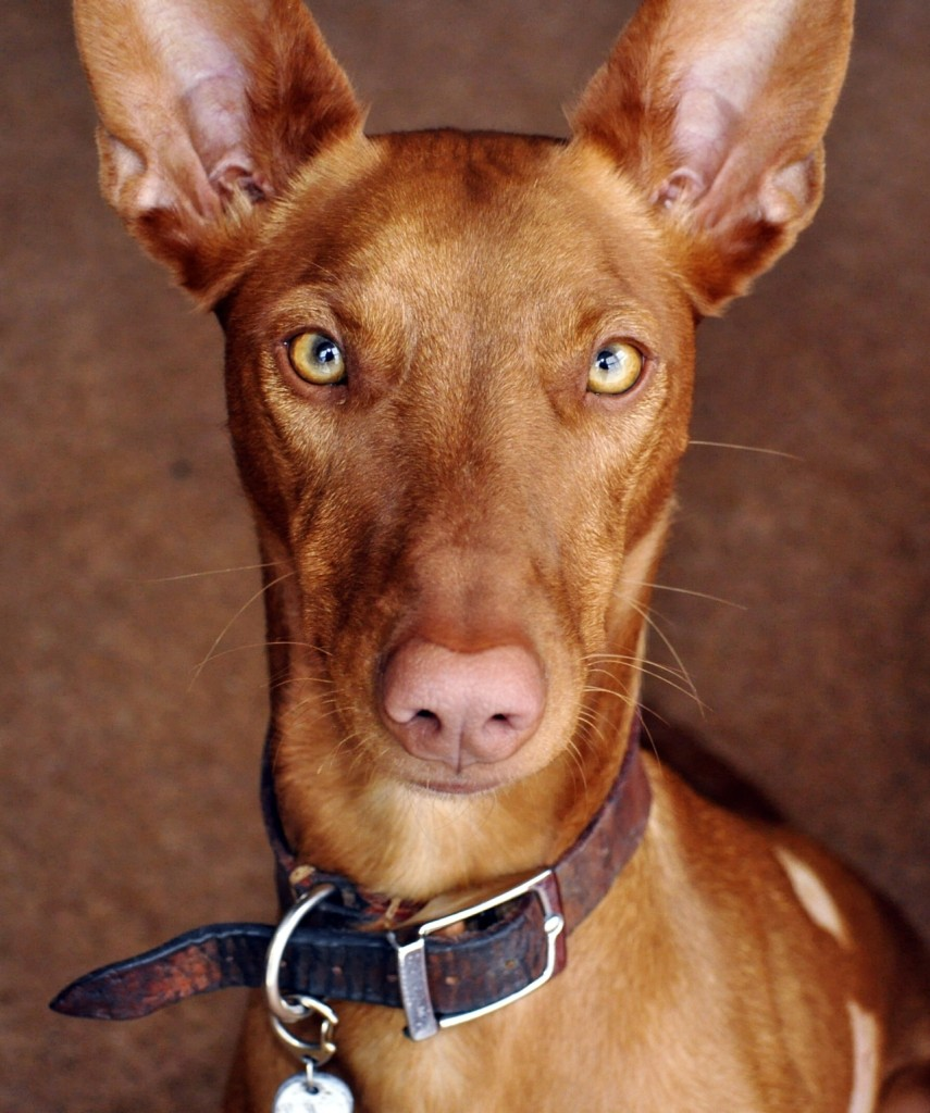 pharaoh hound dog face photo1 855x1024